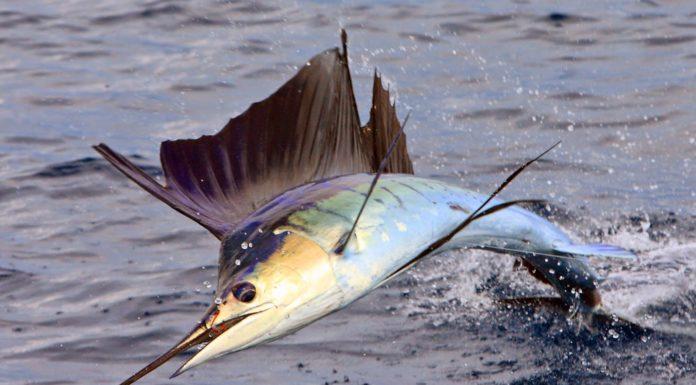 Pêche d'espadon